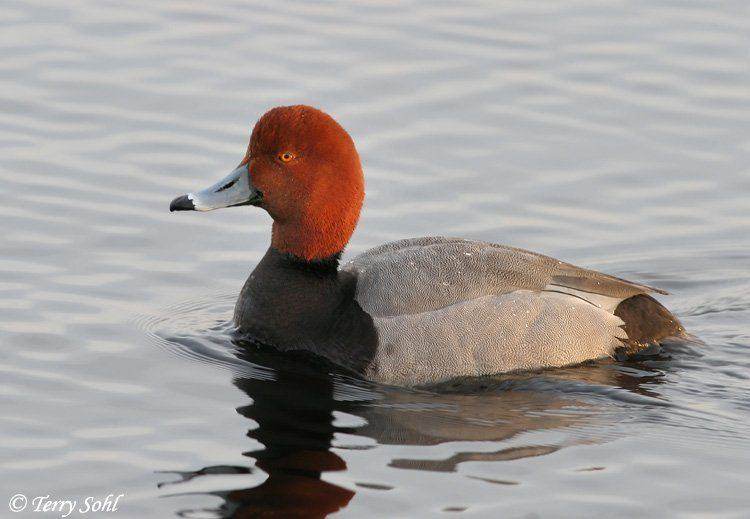 Prada reccomend Duck photo redhead